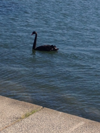 Black swans of Albert Park