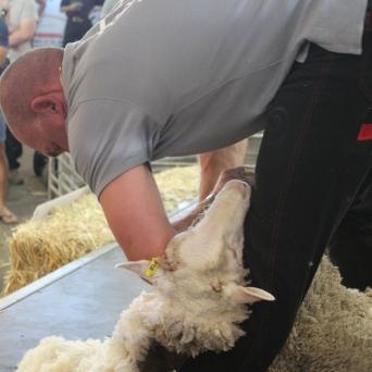 Sheepshearing